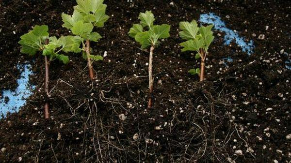 ростки смородины