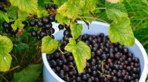 Лучшие и новые сорта черной смородины для выращивания на Урале, посадка и уход
