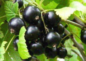 Описание и правила выращивания черной смородины сорта Велой