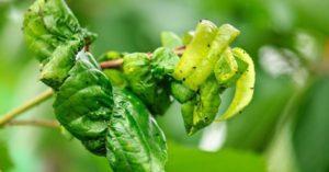 Что делать, если у сливы скручиваются листья, причины проблемы и чем обработать