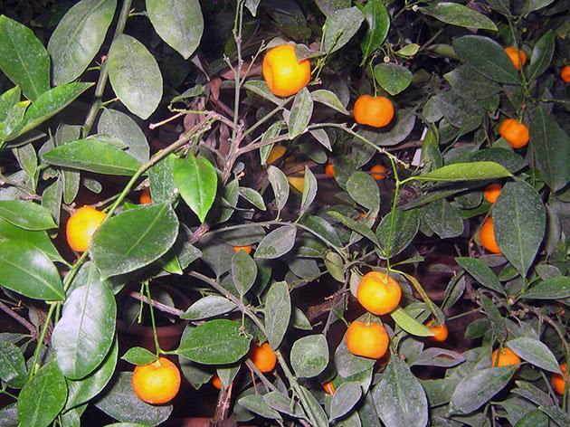 выращивание мандарин