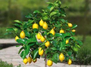 Правила выращивания и ухода за лимонным деревом в горшке в домашних условиях