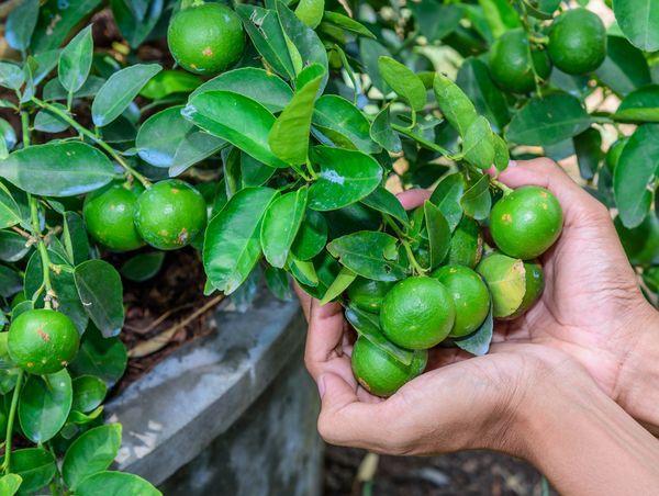 зеленый лимон