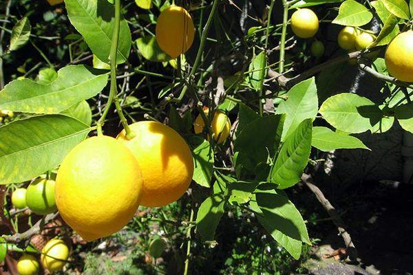 лимоны дома