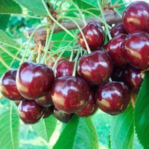 Описание черешни сорта Василиса, выращивание и уход