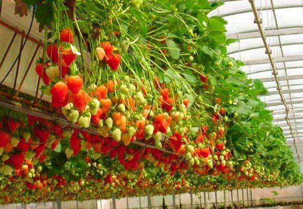 выращивание ягоды