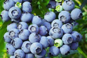 Описание и характеристики голубики сорта Торо, правила выращивания