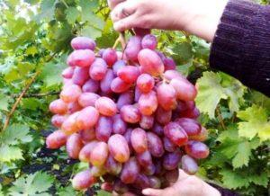 Описание сорта винограда Юлиан, правила посадки и ухода