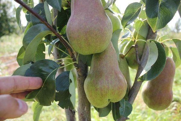 Плоды Брянской Красавицы
