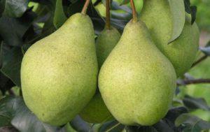 Описание и условия выращивания груши сорта Феерии