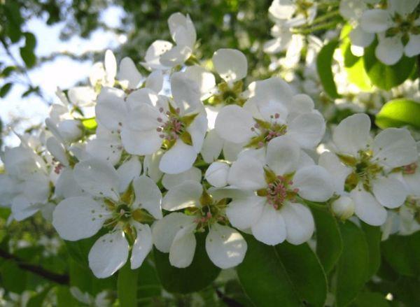 цветки груши