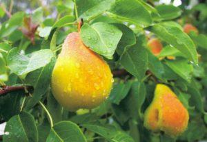 Описание и выращивание груши сорта Скороспелка из Мичуринска