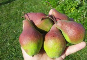 Описание груши сорта Яковлевская, опылители и правила выращивания