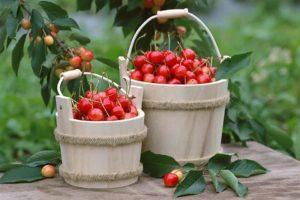 Описание и выращивание черешни сорта Юлия, опылители