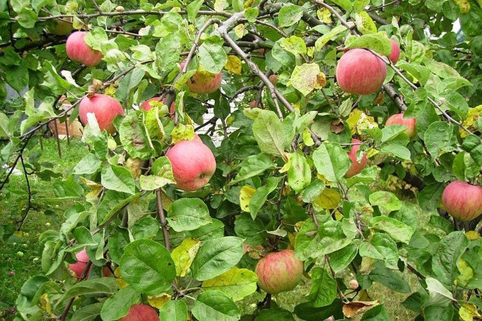 яблони на даче