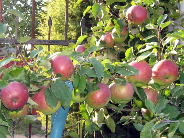 яблоня белорусская