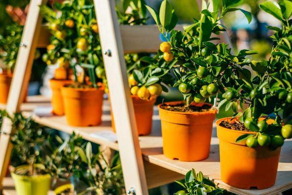 мандарины в горшках