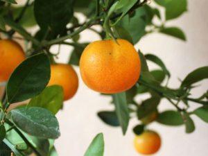 Как правильно прищипывать мандариновое дерево в домашних условиях