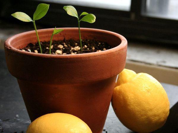 ростки лимона