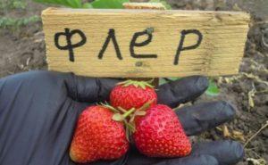 Описание клубники сорта Флер, выращивание и советы по уходу