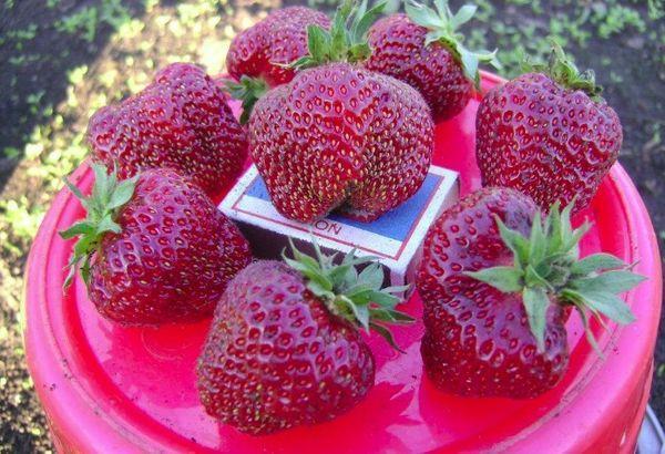 Плоды Рубинового кулона