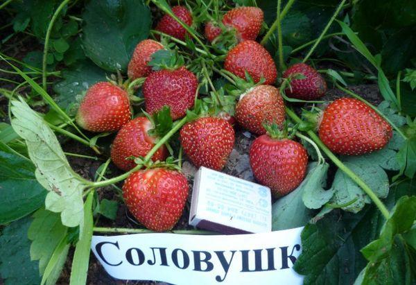 плоды соловушки