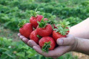 Описание клубники сорта Таго, выращивание и уход