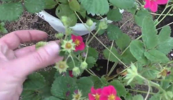 выращивание тосканы