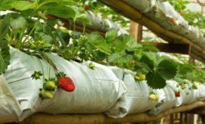 Пошаговая технология выращивания клубники в мешках в открытом грунте и теплице