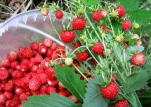 Описание и выращивание клубники сорта Золушка
