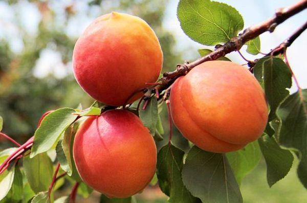 плодоношение абрикоса
