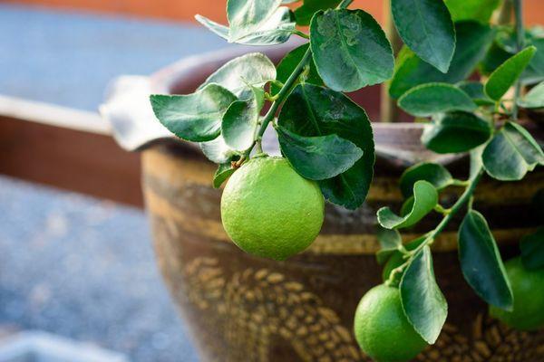плоды лайма