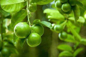 Как вырастить и ухаживать за лаймовыми деревьями в домашних условиях