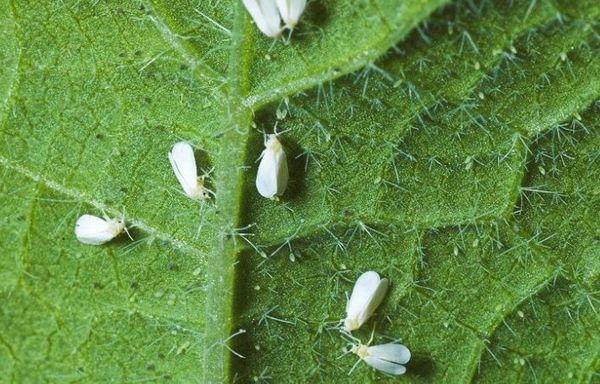 Белокрылки на листе