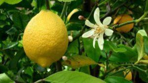 Что делать и как заставить лимон цвести, лучшие методы для улучшения плодоношения