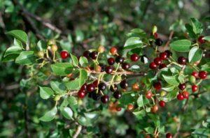 Описание сорта вишни Магалебская и правила выращивания из семян