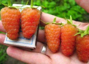 Описание ремонтантного сорта малины Оранжевое чудо, посадка и уход
