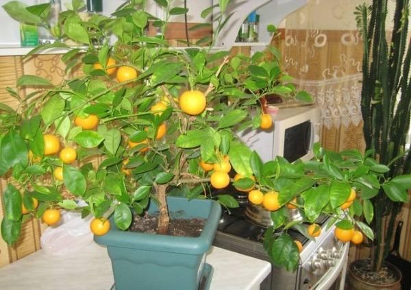 выращивание цытрусовых