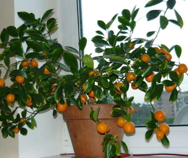 мандарин на подоконнике