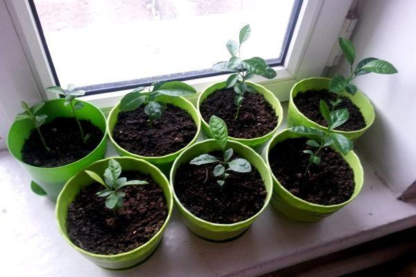 ростки мандарина
