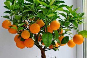 Описание ухода за вариегатным пестролистным мандарином вида Уншиу в домашних условиях