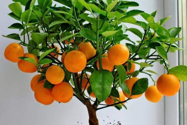 домашний мандарин