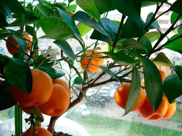 мандарин в горшке