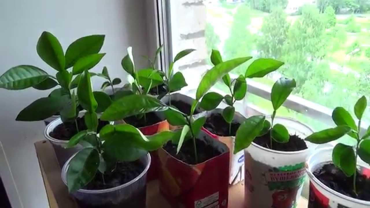 ростки мандаринов