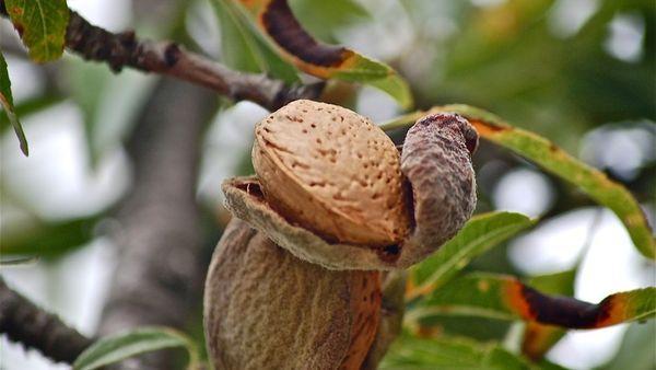 сбор орешков