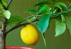 Правила обрезки лимона для плодоношения в домашних условиях