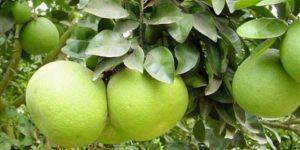 Описание лучших сортов помело и выращивание в домашних условиях