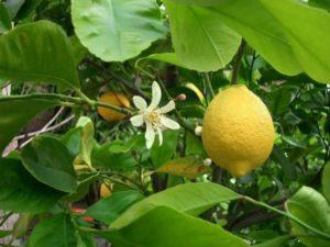 Выращивание комнатного Павловского лимона в домашних условиях, описание сорта и уход за ним