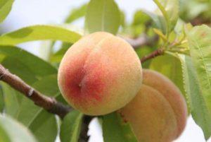 Лучшие сорта персика для выращивания в Подмосковье, посадка и уход