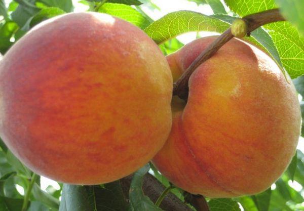 персик сочный